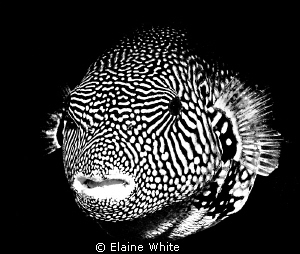 Puffer fish converted to black &amp; white in Lighgtroom.